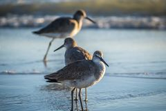 A brown Sandpipers in Anna Maria Island, Florida. A wading bird, curlew enjoying the epic scenery of sunset in the beach of Anna Maria Key stock photography
