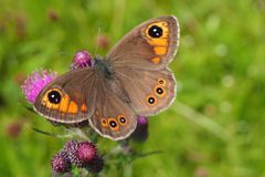 Free Brown Satyrinae On The Meadow Stock Images - 135485094