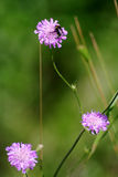Brown scale centaury, knapweed (Centaurea jacea) Stock Photography