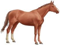 Brown-schönes Pferd. Rückseitige Fahrwerkbeine des Weiß, ein langer tai Lizenzfreies Stockfoto