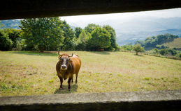 Brown schüchtert das Weiden lassen auf einer Wiese hinter einem Zaun ein Lizenzfreie Stockfotos