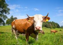 Brown schüchtert das Weiden lassen an einer Weide im Bayern ein Lizenzfreie Stockbilder