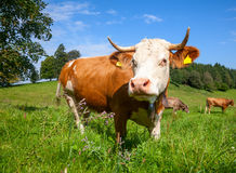 Brown schüchtert das Weiden lassen an einer Weide im Bayern ein Stockbilder
