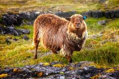 Brown-Schafe Lizenzfreie Stockfotografie