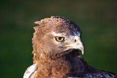 Brown-Schlange-Adler Lizenzfreie Stockfotografie