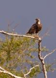 Brown-Schlange-Adler Stockbild