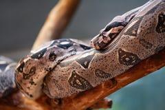 Brown-Schlange auf einer Niederlassung lizenzfreie stockfotografie