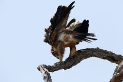 Brown-Schlange Eagle Lizenzfreie Stockbilder