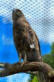 Brown-Schlange Eagle in der Rehabilitations-Gefangenschaft Lizenzfreies Stockfoto