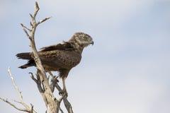 Brown-Schlange Eagle wird in einem toten Baum gehockt Lizenzfreies Stockfoto
