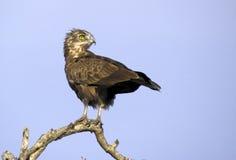 Brown-Schlange Eagles (Circaetus cinereus) Stockfotografie