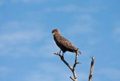 Brown-Schlangeadler, der in einem Baum sitzt Lizenzfreies Stockfoto