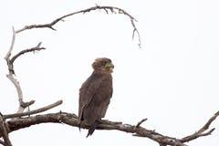 Brown-Schlangenadler auf einem Baum Stockfotografie