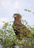 Brown-Schlangenadler hockte in einem Dornenbaum Stockfotografie