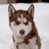 Brown-Schlittenhundportrait stockbild
