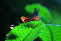 Brown-Schmetterling auf einem großen grünen Blatt lizenzfreie stockfotografie