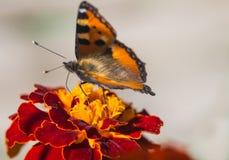 Brown-Schmetterling auf roter gelber Blume Stockbild