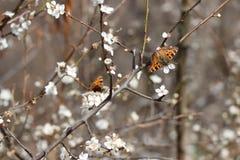 Brown-Schmetterling auf weißen Blumen eines Pflaumenbaums stockfoto