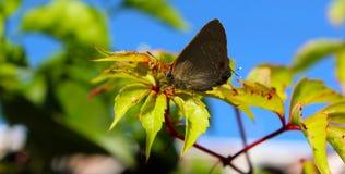 Brown-Schmetterling, der in einem Niederlassungsmakroschuß stillsteht Lizenzfreies Stockbild