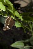 Brown-Schmetterling gehockt Lizenzfreie Stockfotografie