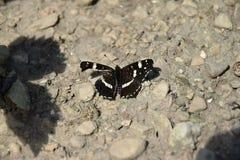 Brown-Schmetterling mit schädigendem linkem Flügel Stockfotografie