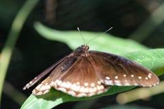Brown-Schmetterling mit weißen Punkten Stockfotografie