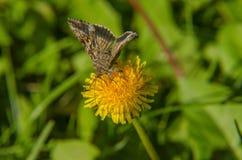Brown-Schmetterling steht auf Löwenzahn Stockfotos