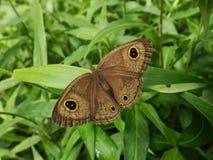 Brown-Schmetterling verbreitete die Flügel, um ein größeres Geschöpf auf dem grünen Gras nachzuahmen lizenzfreies stockfoto