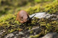 Brown-Schnecken sind unerwünschte Spezies herein Stockfotografie