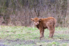 Brown scottish highlander calf in meadow Royalty Free Stock Photos