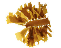 Brown sea algae Stock Image