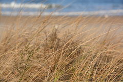 Brown beach grass on a sand dune Stock Images