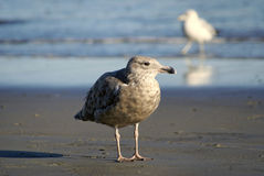 A brown sea gull. Standing on the beach with a white one walking in the water in the background Stock Photography