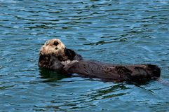 A brown sea otter floating on its back. royalty free stock photography