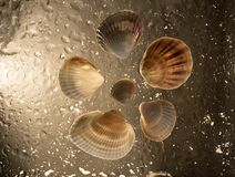 Brown sea shells and in drops of water. stock photography