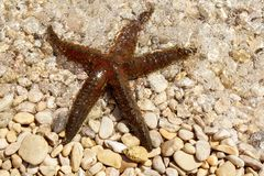 Brown sea star Stock Images
