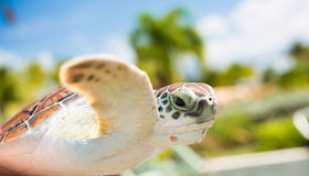 Brown sea turtle in air, bright tropical Royalty Free Stock Photography