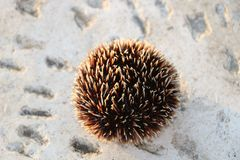 Brown sea urchin Stock Photo