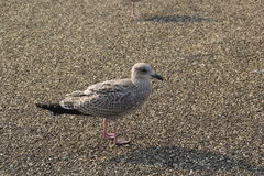 Brown seagull close up. A brown seagull takes a break Royalty Free Stock Photos
