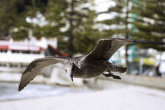 Brown Seagull in flight, Oriental Bay, New Zealand Royalty Free Stock Photos