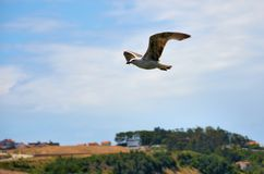 Brown seagull flying Royalty Free Stock Image