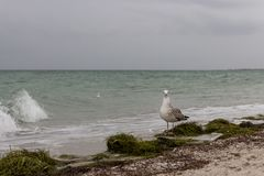 Brown seagull looking at camera against storm on sea. Wild birds concept. Seagull on sand beach in hurricane day. Stock Photos