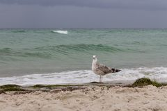 Brown seagull looking at camera against storm on sea. Wild birds concept. Seagull on sand beach in hurricane day. Royalty Free Stock Image