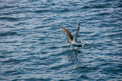 Brown seagull Royalty Free Stock Images