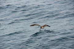 Brown seagull Stock Photography