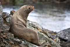 The brown seal. Has a rest on stones in Antarctica Royalty Free Stock Images