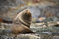 The brown seal. Has a rest on stones in Antarctica Royalty Free Stock Photo