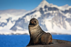 Brown seal. The brown seal has a rest on stones in Antarctica Royalty Free Stock Photography
