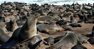 Brown seal colony in Cape Cross, Africa, Namibia wildlife stock video footage