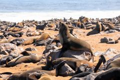 Brown seal colony in Cape Cross, Africa, Namibia wildlife. Brown fur seal in very big Cape Cross colony, Africa, Namibia safari wildlife stock photography